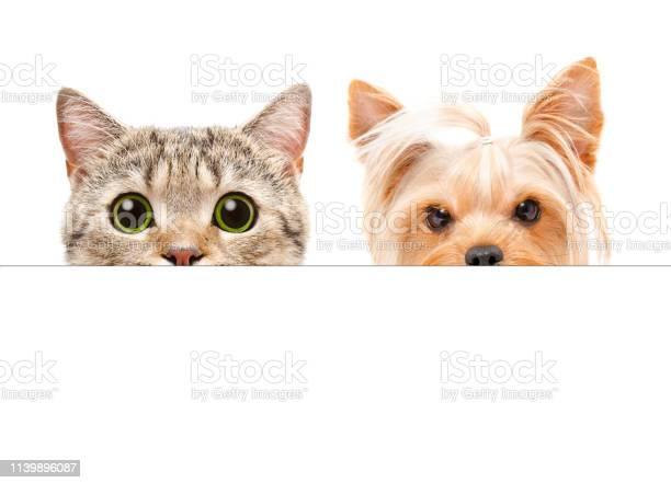 Portrait of yorkshire terrier and scottish straight cat peeking from picture id1139896087?b=1&k=6&m=1139896087&s=612x612&h=s7pjmerusbh4hx3jmleebbefw9jni4atkhkipt ektm=