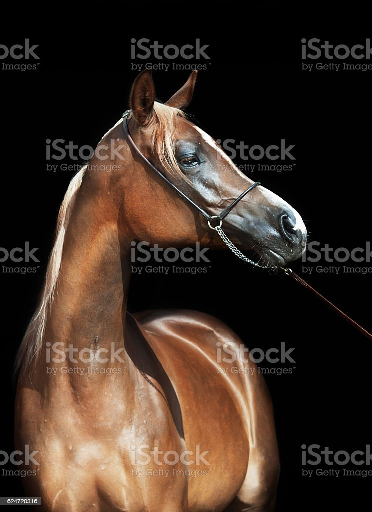 portrait of young arabian filly at black background stock photo