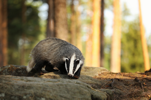 Portrait of young badger sniffing in forest - Meles meles