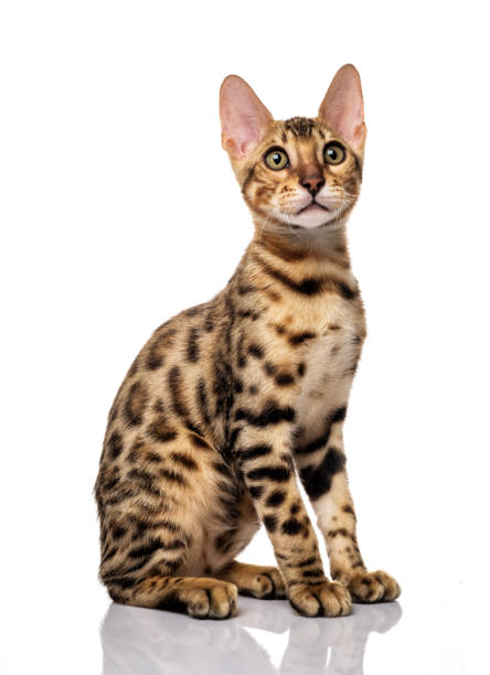 portrait of young bengal purebred cat - ocelot foto e immagini stock