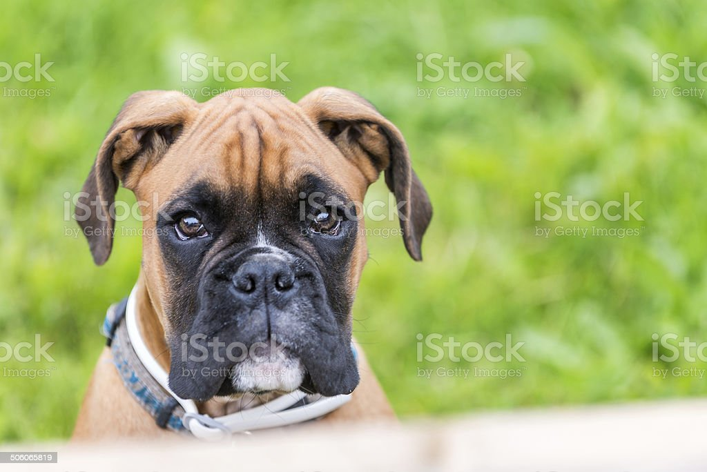 Portrait of young boxer dog.