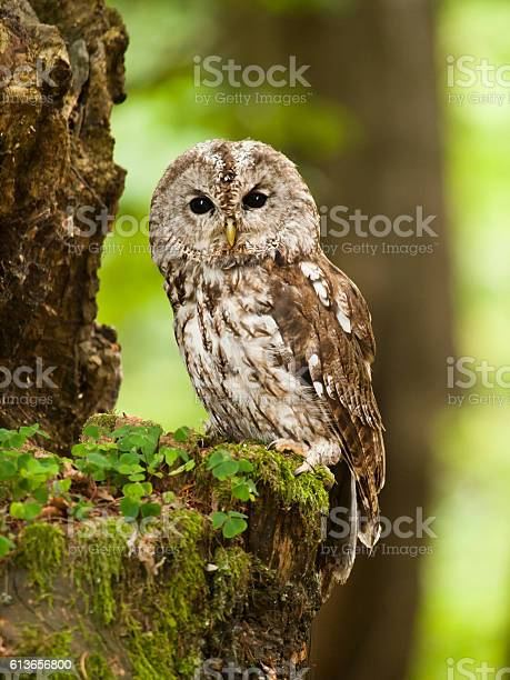 Portrait of young brown owl in forest strix aluco picture id613656800?b=1&k=6&m=613656800&s=612x612&h=mkwkcitdikxqebzr79 eqmj9hcb8bl2skejafqgts1a=