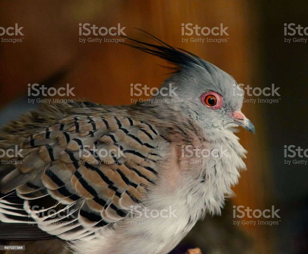 Portrait of young crested pigeon close up. stock photo