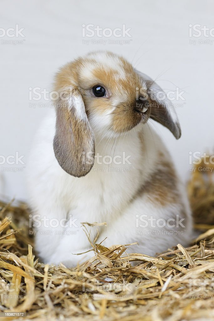 Portrait of young domestic rabbit sitting on straw royalty-free stock photo