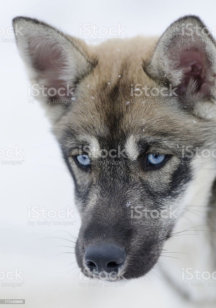 Portrait of young husky sled dog royalty-free stock photo
