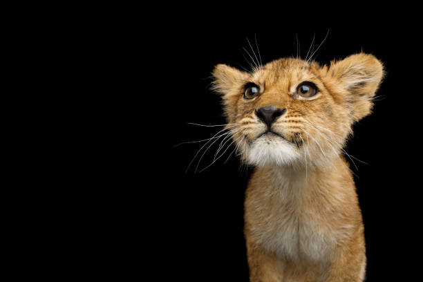 Portrait of Young Lion Cub Isolated on Black Background Portrait of Cute Lion Cub With Curious face looking for Isolated on Black Background, front view lion cub stock pictures, royalty-free photos & images