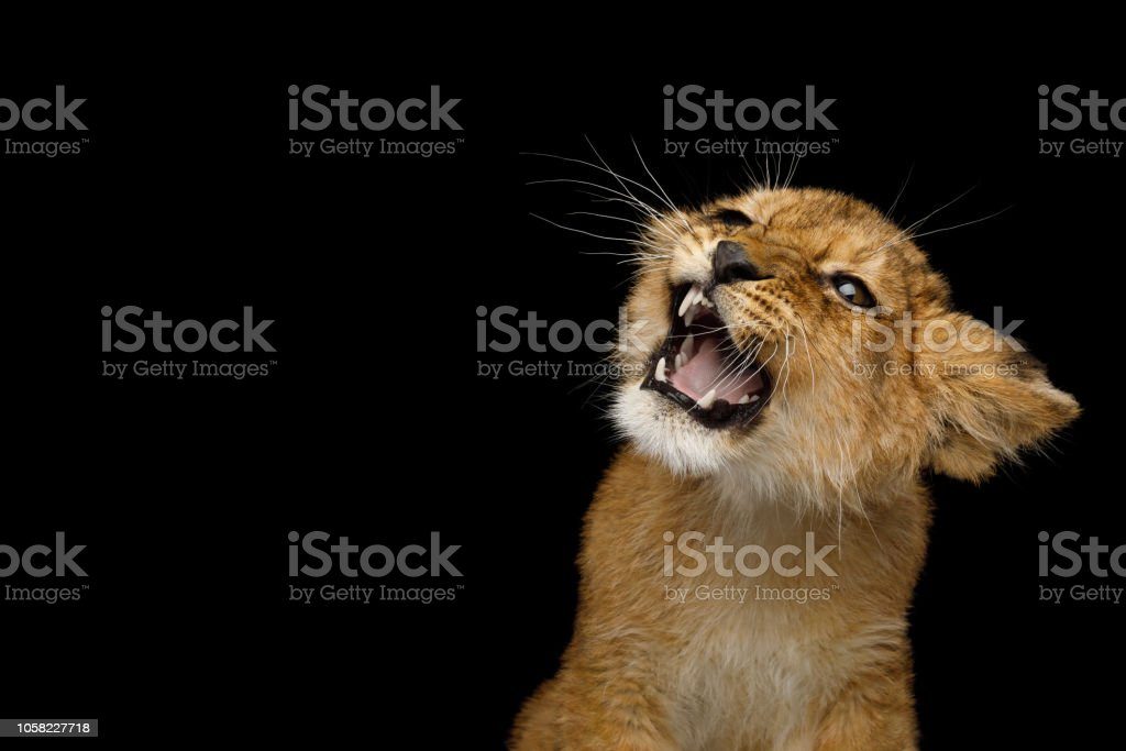 Portrait of Young Lion Cub Isolated on Black Background stock photo