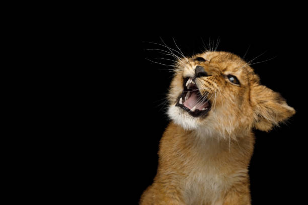 Portrait of Young Lion Cub Isolated on Black Background Portrait of Lion Cub With grin face hissing Isolated on Black Background lion cub stock pictures, royalty-free photos & images