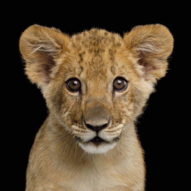 Portrait of Young Lion Cub Isolated on Black Background Portrait of Lion Cub Gazing in Camera Isolated on Black Background, front view lion cub stock pictures, royalty-free photos & images