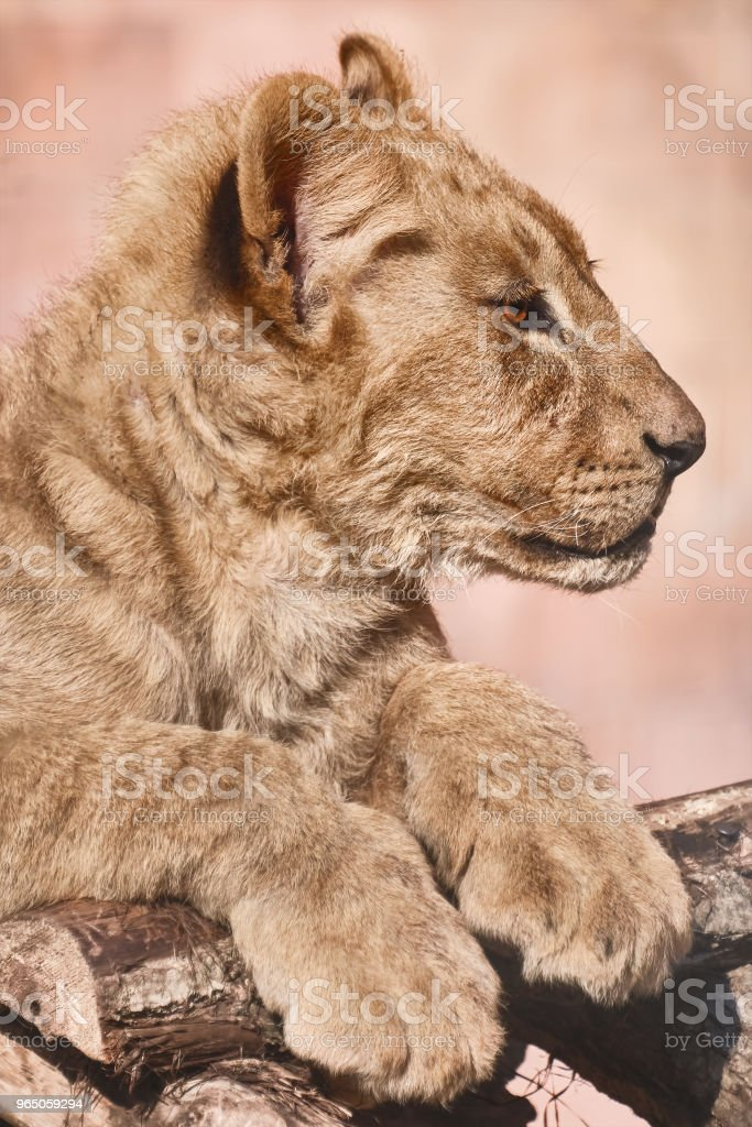 Portrait of Young Lion royalty-free stock photo