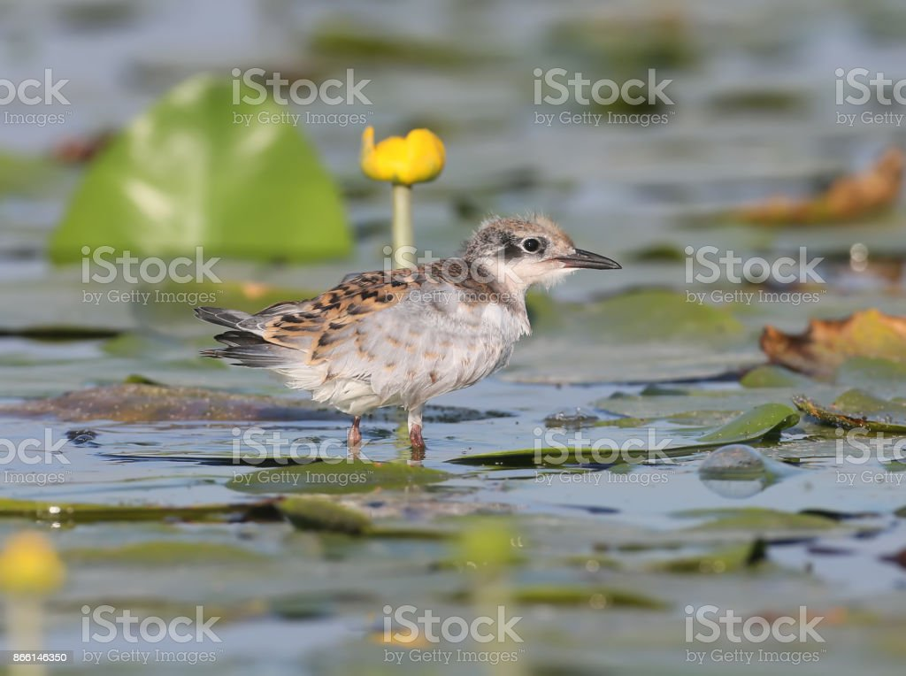 Portrait of young whiskered tern. stock photo