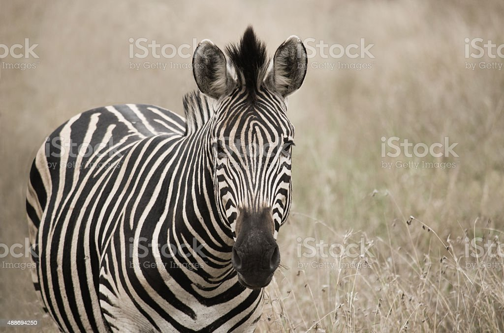 portrait of zebra in field stock photo