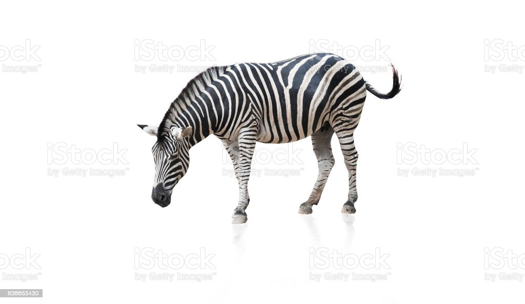 Portrait of Zebra isolated on white background with clipping path stock photo