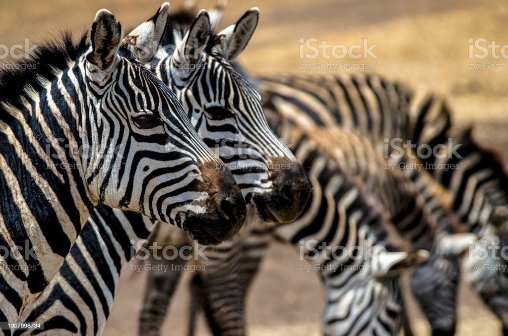 Portrait of Zebras in Ngorongoro Crater, Tanzania stock photo