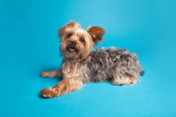 Portrait on a Yorkshire Terrier stock photo