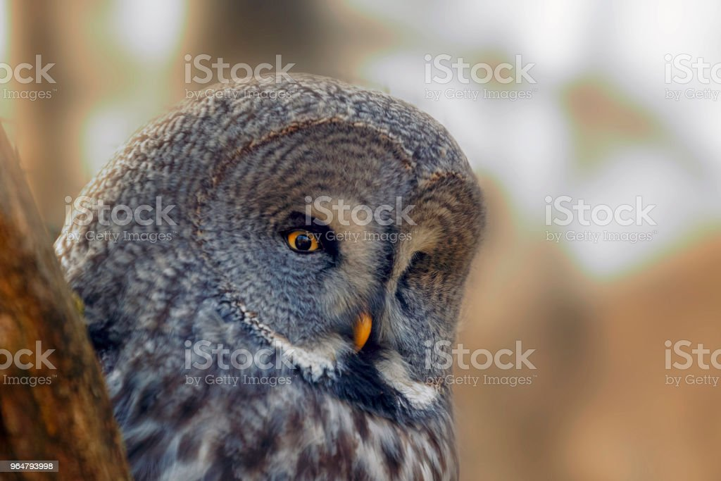 Portrait  Owl with big orange eyes behind larch tree trunk royalty-free stock photo
