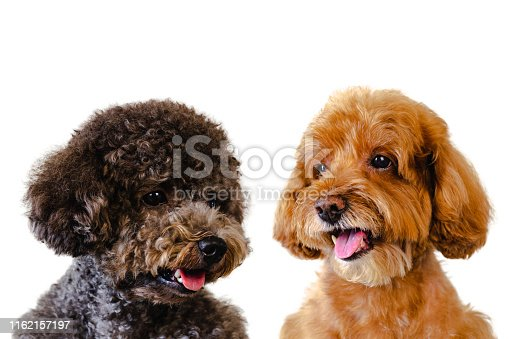 istock Portrait photo of adorable smiling brown and black toy Poodle dogs. 1162157197