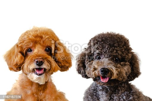 istock Portrait photo of adorable smiling brown and black toy Poodle dogs. 1162157226