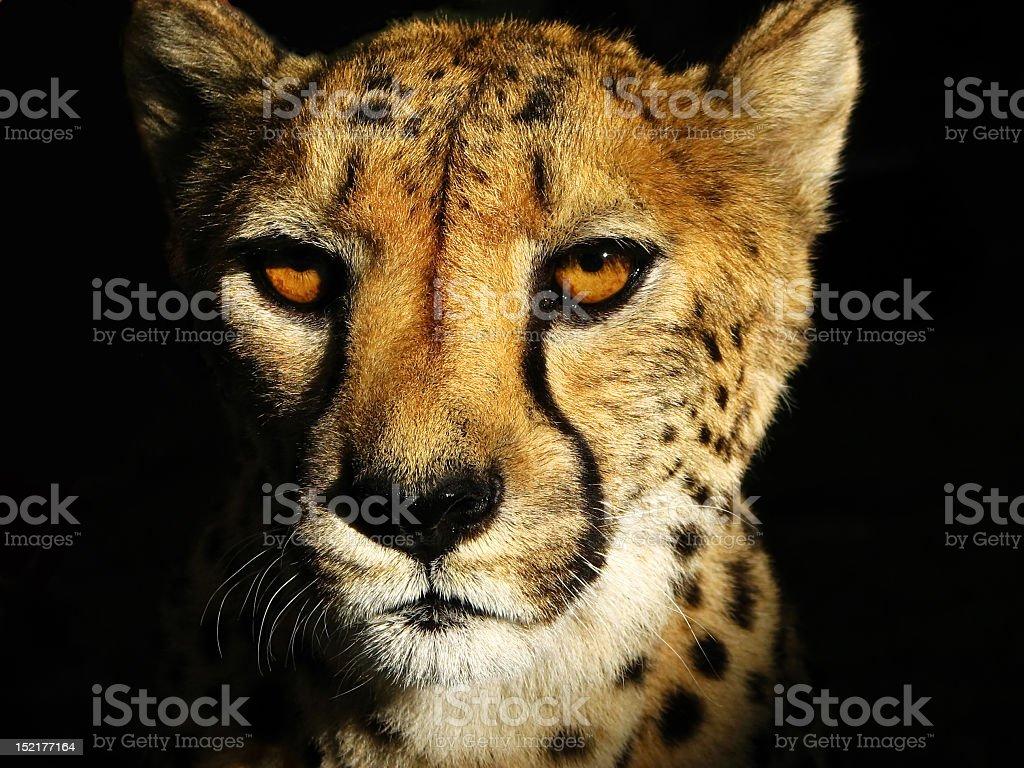 Cara de guepardo - foto de stock