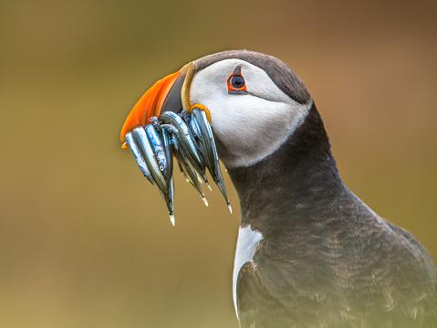 istock Portrait Puffin with beak full of fish 514938230