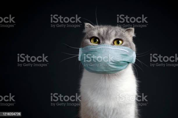 Portrait purebred scottish fold cat with doctor mask pure breed dark picture id1216204726?b=1&k=6&m=1216204726&s=612x612&h=whnrrdaq3amcvrcag8c akvqyixiku9fyywzlwfx9j8=