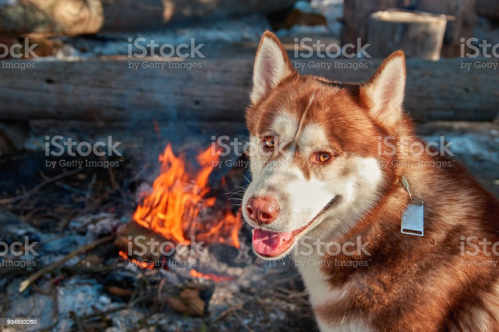 Portrait red Siberian husky sitting by the campfire in winter forest in sunny frosty day. Dog smiles and looks at camera. Copy space. stock photo