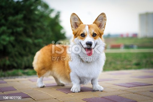 Portrait  red Welsh Corgi dog outdoors in the park on a sunny summer day.