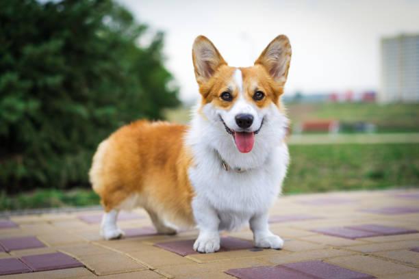 porträt rot welsh corgi hund draußen im park an einem sonnigen sommertag. - welsh corgi pembroke stock-fotos und bilder