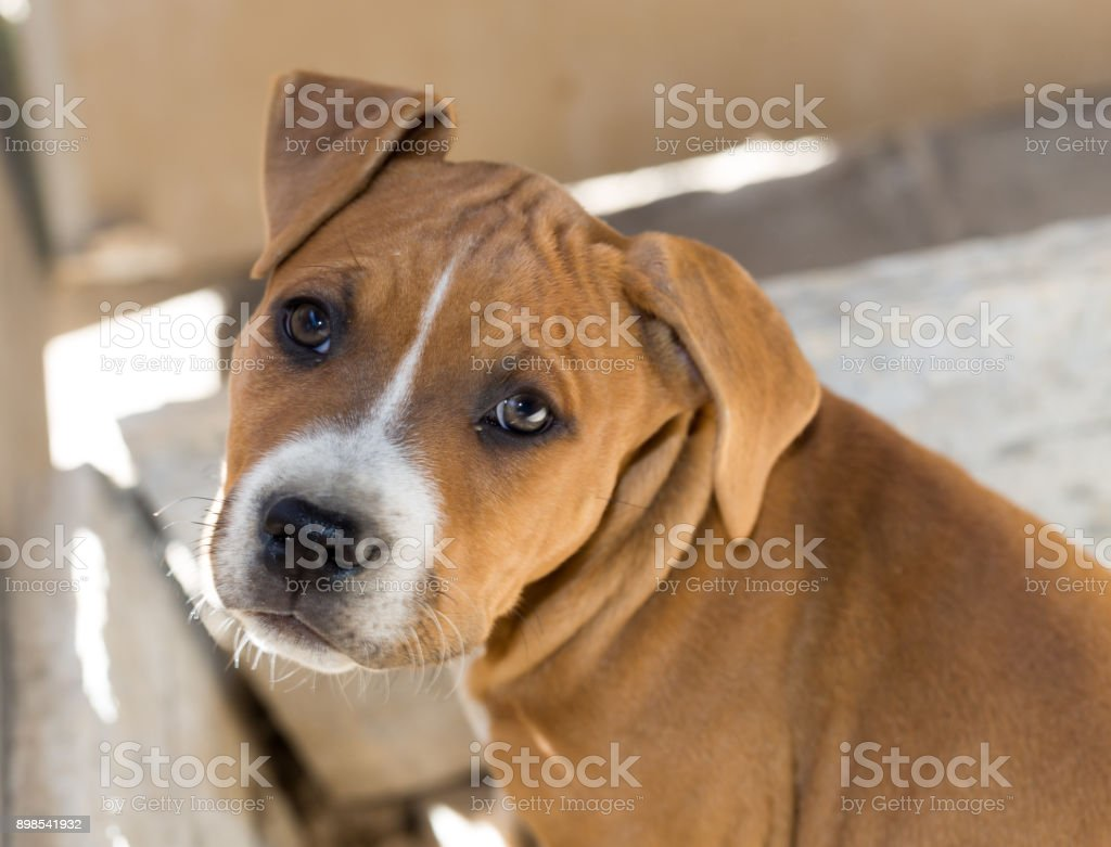 Portrait redhead pit bull dog stock photo