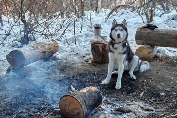 Portrait Siberian husky sitting by the campfire in winter forest. Dog looks at camera. Copy space. stock photo