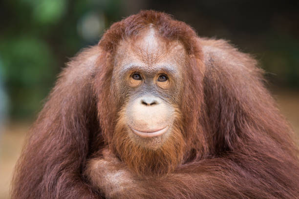 Portrait smiling Orangutans sit for the photographer take a picture. Portrait smiling Orangutans sit for the photographer take a picture. orangutan stock pictures, royalty-free photos & images