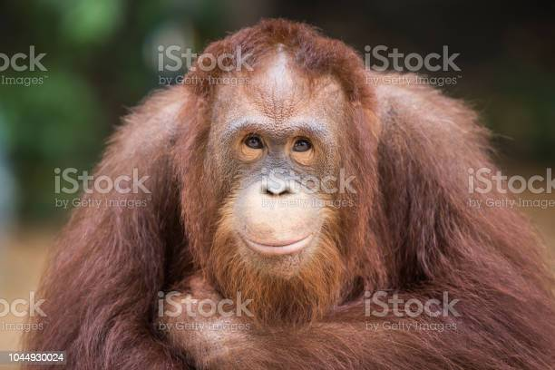 Portrait Smiling Orangutans Sit For The Photographer Take A Picture Stock Photo - Download Image Now