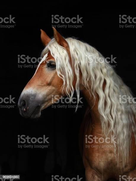 Portrait sorrel haflinger stallion low key portrait picture id969604660?b=1&k=6&m=969604660&s=612x612&h=8c0km62wjwnhkdysnfukpogtqexv kkkdggwpzprdbm=