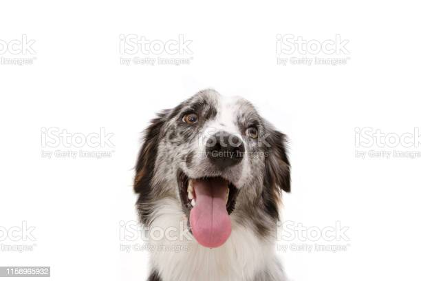 Portrait sweer blue merle border collie isolated on white background picture id1158965932?b=1&k=6&m=1158965932&s=612x612&h=igkzw85vkqhpd5rbc8g8do085ahonfl7qwhscfjy2pu=