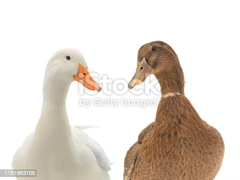 portrait two ducks isolated on white background