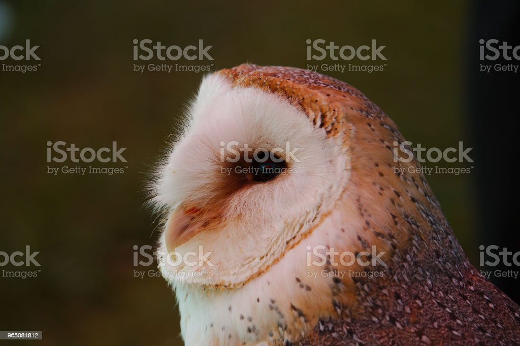 Portrait view of a barn owl royalty-free stock photo