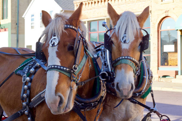 portrait view of a pair of carriage horses - cocchio foto e immagini stock