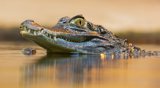Portrait view of a Spectacled Caiman (Caiman crocodilus)