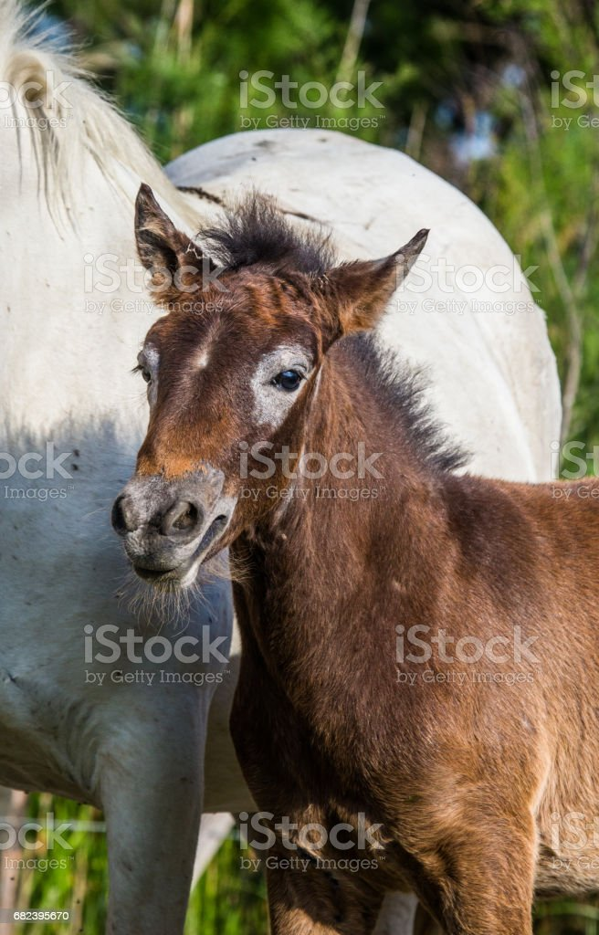 Portrait White Camargue horse foal. royalty-free stock photo