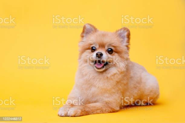 Portraite of cute fluffy puppy of pomeranian spitz little smiling dog picture id1222446312?b=1&k=6&m=1222446312&s=612x612&h=d5z9acouiky29ggccnsoreyoa0wotfzfh6rsmwthqco=