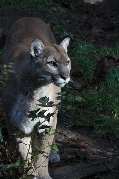 Portraits of a cougar stock photo