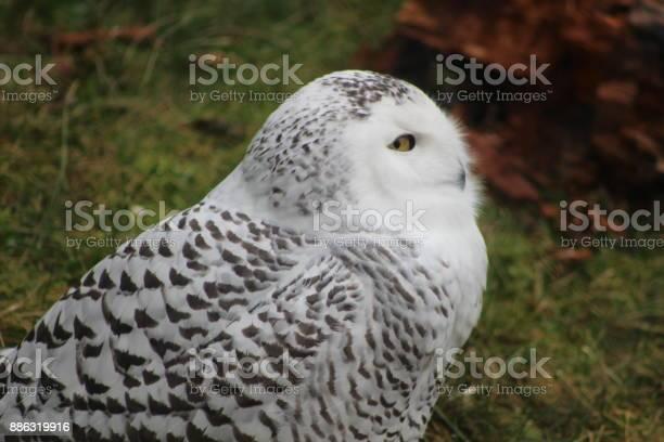 Portraits of the majestic snowy owl showing its beautiful composition picture id886319916?b=1&k=6&m=886319916&s=612x612&h=hwxattqkng1ua 5nj7urqbqo7vjp3a0wnyc3ukv3trc=