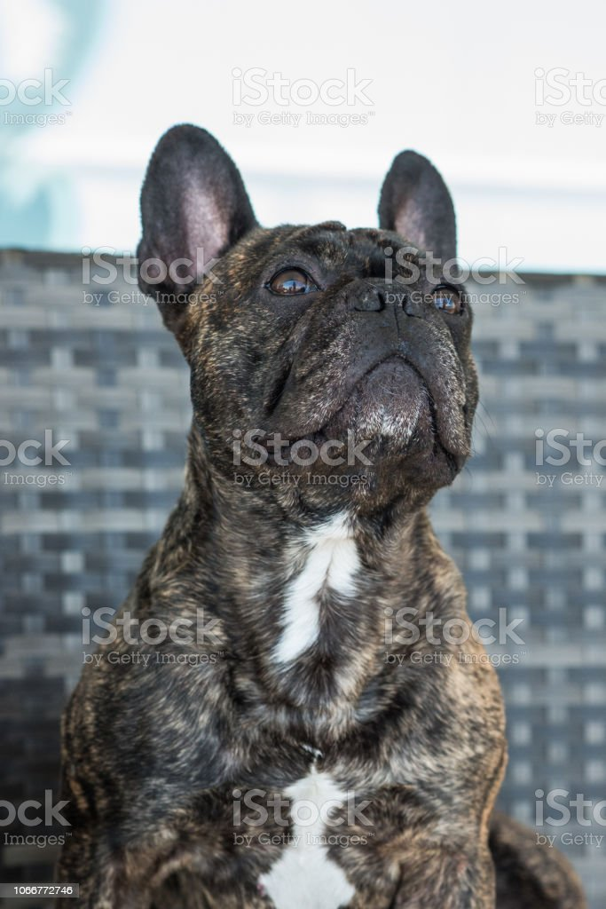 Portraiture of a 5 years old French bulldog, brindle color,on a white background. stock photo