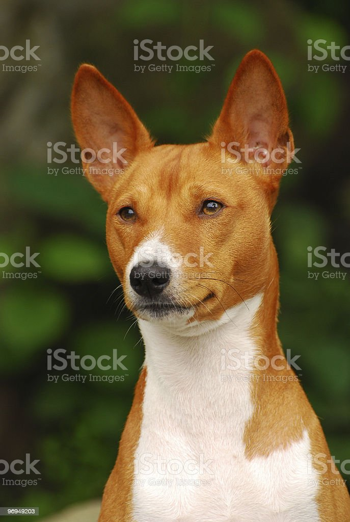 Portrate of Basenji royalty-free stock photo