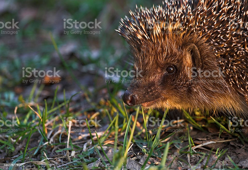 Portret of hedgehog royalty-free stock photo