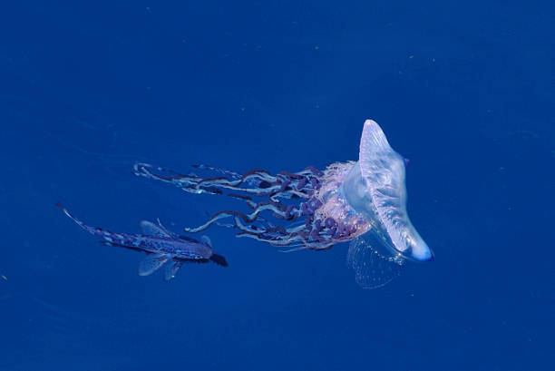 Portuguese man o war and fish stock photo