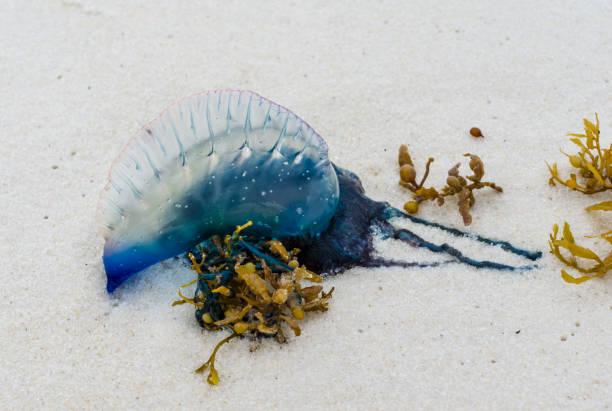portugiesische man o' krieg quallen an der küste der golfküste angespült. schöne, gefährliche, bunte quallen mit leuchtend blauer farbe an weißen sandstränden. - wilde hilde stock-fotos und bilder