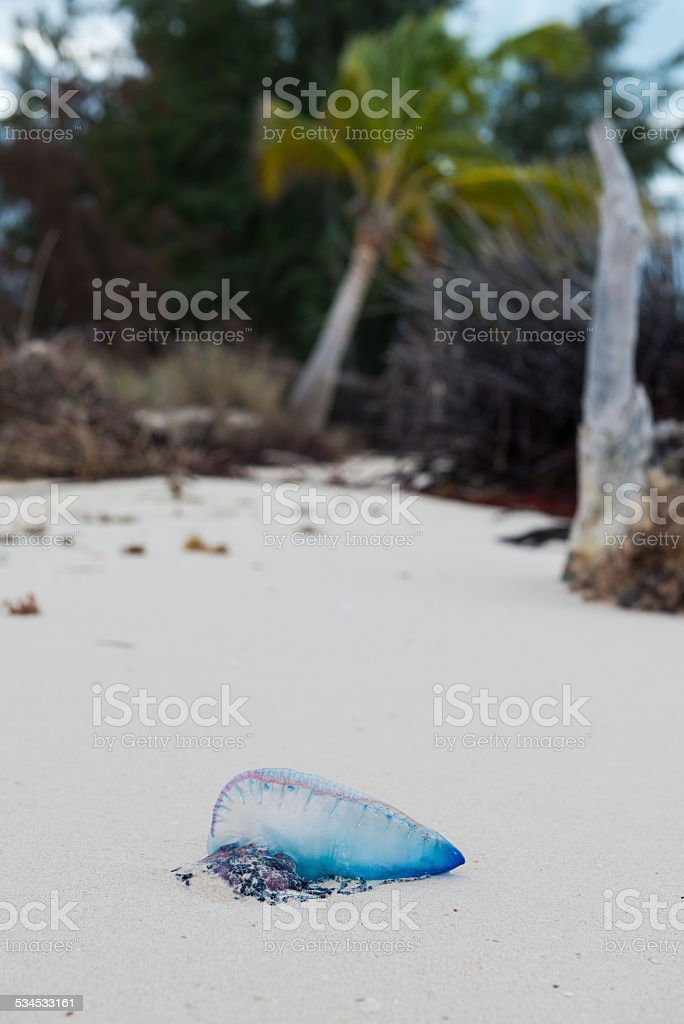 Portuguese man o' war on beach in Cuba stock photo