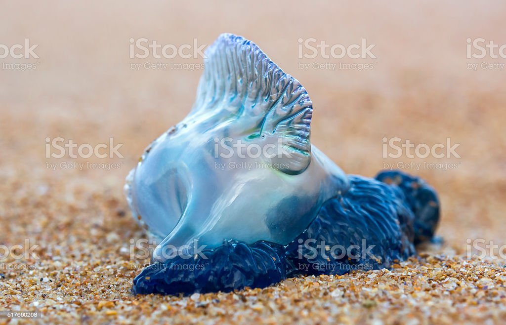 Portuguese man o' war stock photo