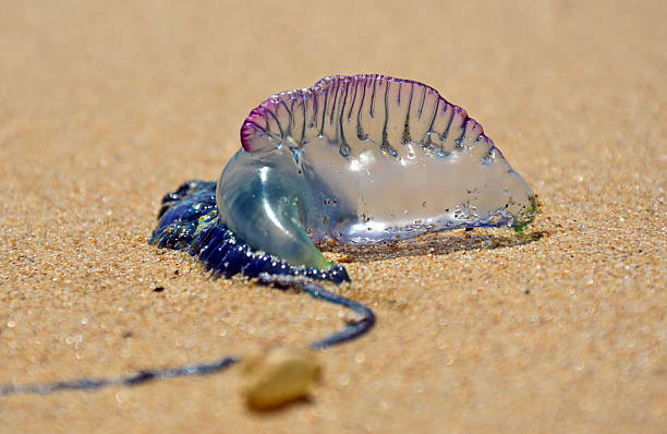 Portuguese Man O' War (Bluebottle) stock photo